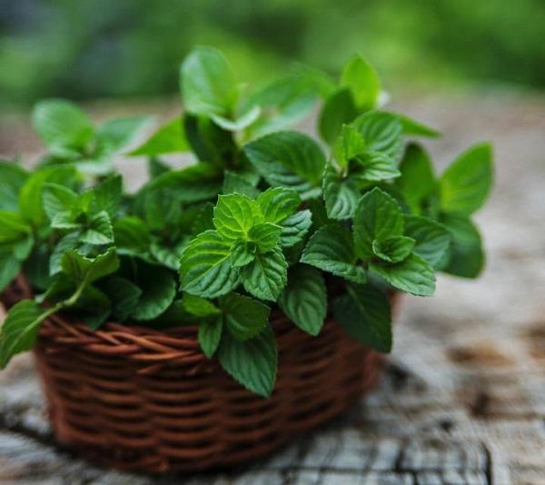 عوارض و مضرات دمنوش، روغن، عرق و گیاه نعناع